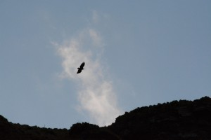 White tailed eagle in sillhouette